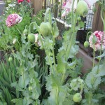 Poppies_Backgarden