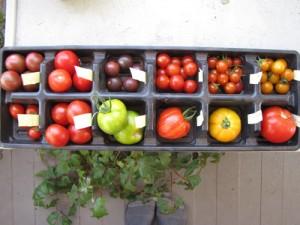 Tomato_Tasting_2011